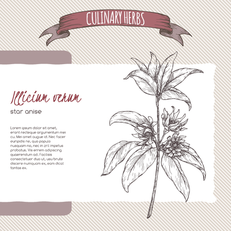 Illicium verum aka star anise or badiane sketch. Culinary herbs series. Great for traditional medicine, gardening, cooking.