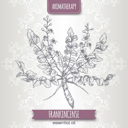 Boswellia sacra aka frankincense sketch on elegant lace