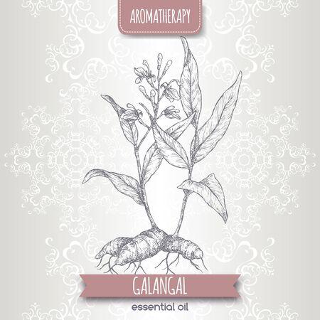 Alpinia galanga aka greater galangal sketch on elegant lace Stock Illustratie