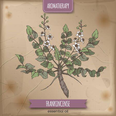 Boswellia sacra aka frankincense color sketch on vintage