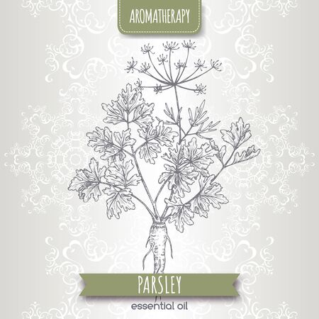 Parsley aka Petroselinum crispum sketch on elegant lace