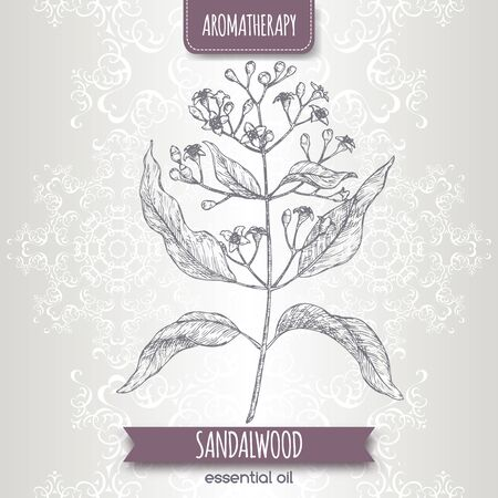 Indian sandalwood aka Santalum album sketch on elegant lace background.