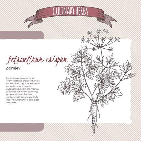 Parsley aka Petroselinum crispum sketch.