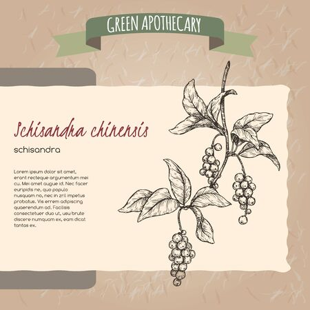 Schisandra aka Schisandra chinensis or magnolia vine sketch on vintage paper