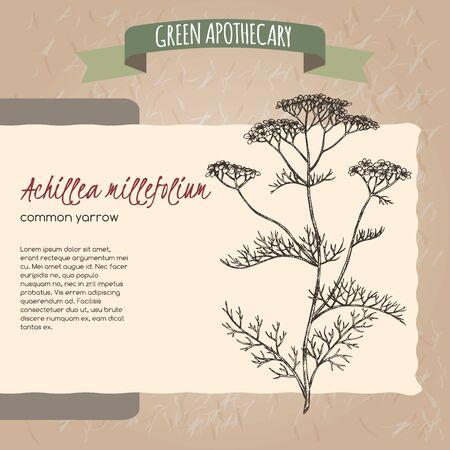 Yarrow aka Achillea millefolium sketch on vintage paper Çizim