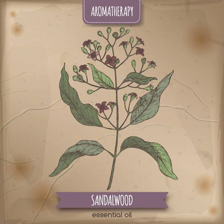 Indian sandalwood aka Santalum album color sketch on vintage
