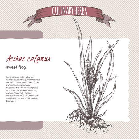 Acorus calamus aka sweet flag sketch. Culinary herbs series. Çizim