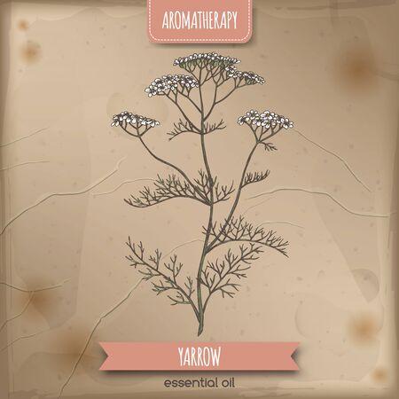 Yarrow aka Achillea millefolium color sketch on vintage background.