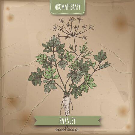Croquis de persil aka Petroselinum crispum sur fond de dentelle élégante. Vecteurs