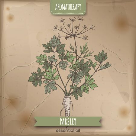 Parsley aka Petroselinum crispum sketch on elegant lace background.