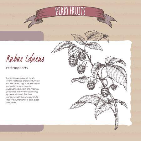 Red raspberry aka Rubus idaeus branch sketch on cardboard background. Berry fruits series.