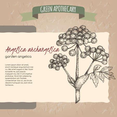 Angelica archangelica aka garden angelica sketch on vintage paper background. Green apothecary series. Çizim