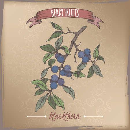 Blackthorn aka Prunus spinosa branch color sketch on vintage background. Berry fruits series. Illustration
