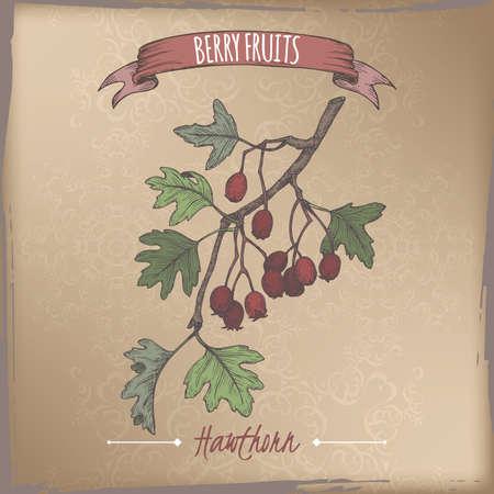 Hawthorn aka Crataegus branch color sketch on vintage background. Berry fruits series. Illustration