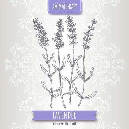 Lavender aka Lavandula angustifolia sketch on elegant lace background. Vector Illustratie