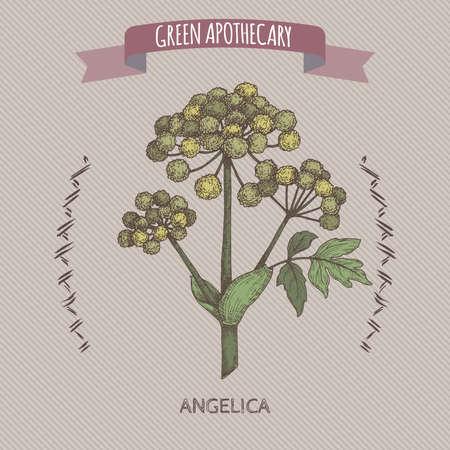 Angelica archangelica aka garden angelica color sketch. Green apothecary series.