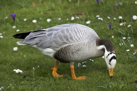 anser: Bar-headed Goose (Anser indicus) photographed in FrankfurtMain, Germany, Europe