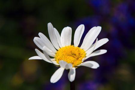 oxeye daisy on a wild bloom field photo