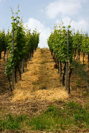 vineyard near Wuerzburg, Franconia, Germany Stock Photo