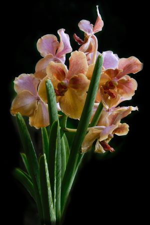 Vanda orchid photographed in Barbados in October 2007 photo