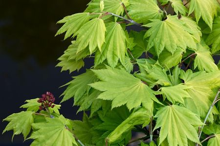 aceraceae: Japanese Maple in spring with flower