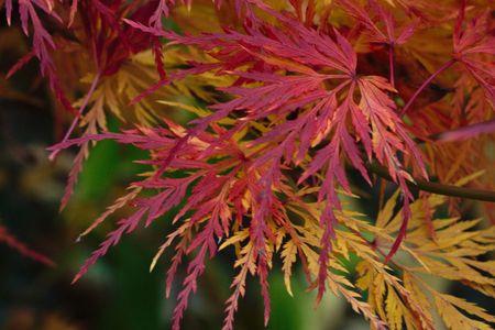 aceraceae: Japanese Maple in Autumn