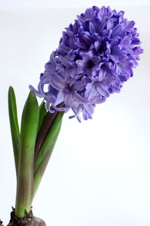 hyacinth: spring with hyacinth in Germany (February 2008)