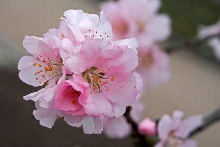 spring with almond flowers