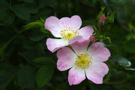 wild  rose: Wild Rose fotografato vicino Wuerzburg  Main, Baviera, Germania