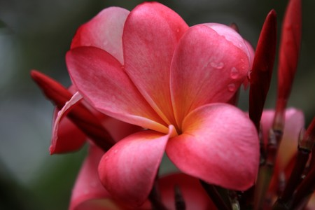 Frangipani photographed in October in the Botanic Garden of Singapore (2008) photo