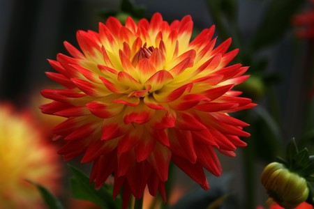 Dahlia photographed in germany near Frankfurt in August 2008
