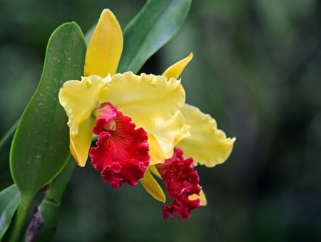 cattleya: Cattleya orchid photographed in Barbados, October 2007 Stock Photo