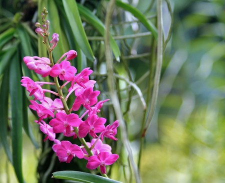 epiphytic: Vanda orchid photographed in Singapore in October 2008 Stock Photo