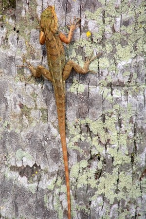 bole: Lizard on a palm bole