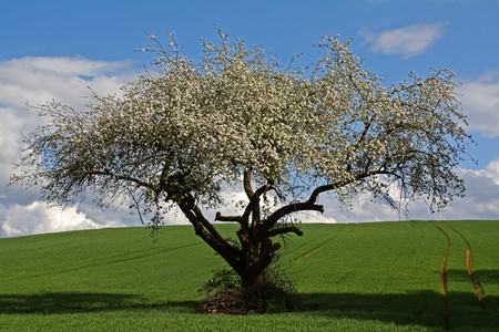 bloomy apple tree in spring in germany, hessen Stock Photo