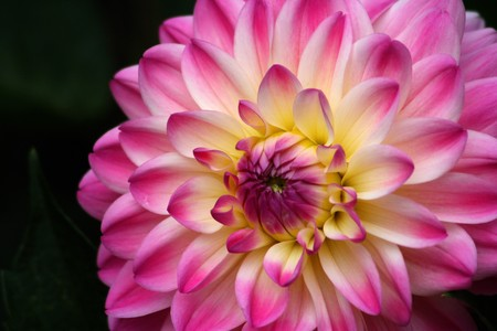 Dahlia photographed in germany near Frankfurt in August 2008 photo