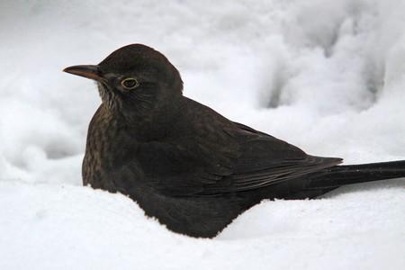 Blackbird; male photographed in Germany near Frankfurt photo