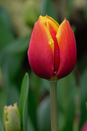 Tulips field photographed in palms garden in Frankfurt, Hessen, Germany photo