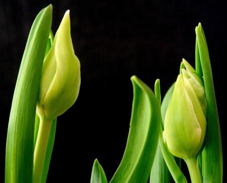 Tulips with black background;  photographed near Frankfurt, Hessen, Germany photo