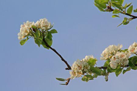 bloomy: bloomy apple tree in spring in germany, hessen Stock Photo