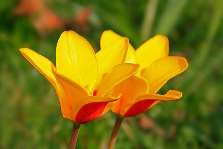 ornamentals: wild tulip Stock Photo