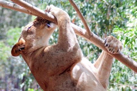 León (Panthera leo) en el Parque nacional Casela, Mauricio, de noviembre de 2010 Foto de archivo - 9093031