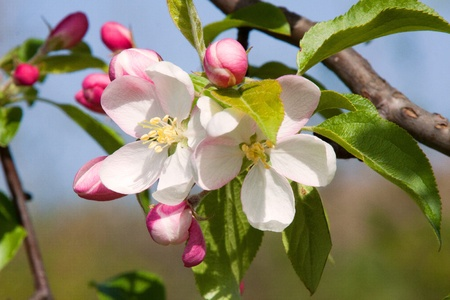 Apple blossom in Spring, photographed in April 2011, near Frankfurt am Main, Germany photo