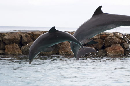 Dolphin - Delphinidae - photographed in October in Curacao