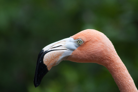 Flamingo - Phoenicopteridae - photographed in October in Curacao Stock Photo
