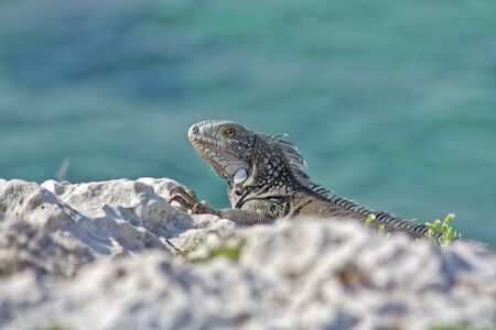 Green island iguana - photographed in October in Curacao