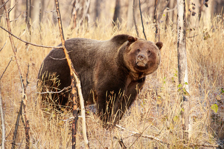Young male grizzly bear in Yellowstone National Park