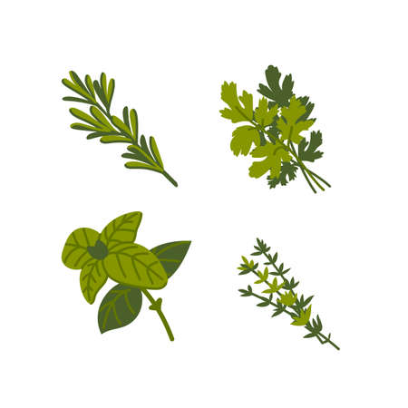 Culinary herb. Common aromatic cooking herbs on white background. Flat Vector hand drawn illustration