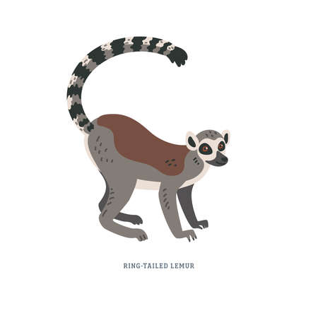 Ring-tailed lemur or Lemur catta - large strepsirrhine primate with long black and white ringed tail. Simple Colorful vector illustration in flat cartoon style on white background.