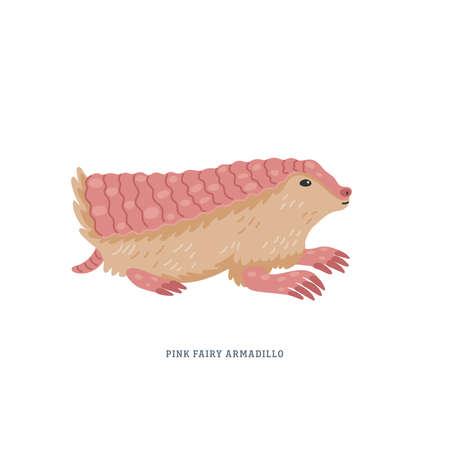 Pink fairy armadillo or Chlamyphorus truncatus, or pichiciego - smallest armadillo endemic to central Argentina. Simple Colorful vector illustration in flat cartoon style on white background.
